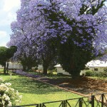wedge jacaranda(1)